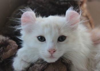 Gato american curl miniatura
