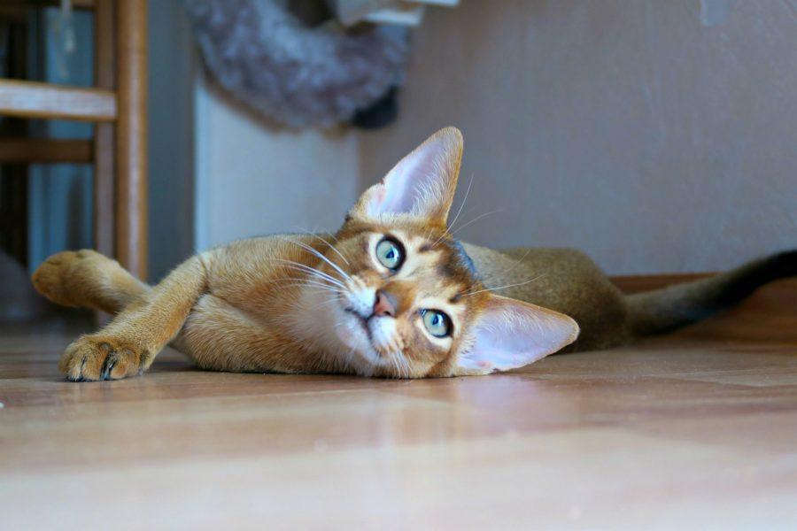 gato abisinio cabecera