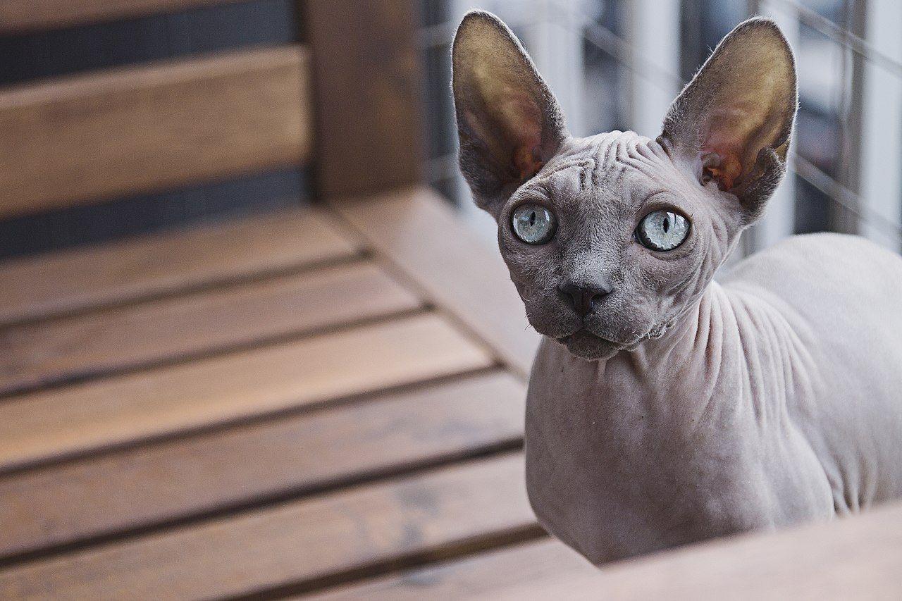 Gato egipcio cabecera