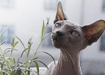 Gato egipcio miniatura