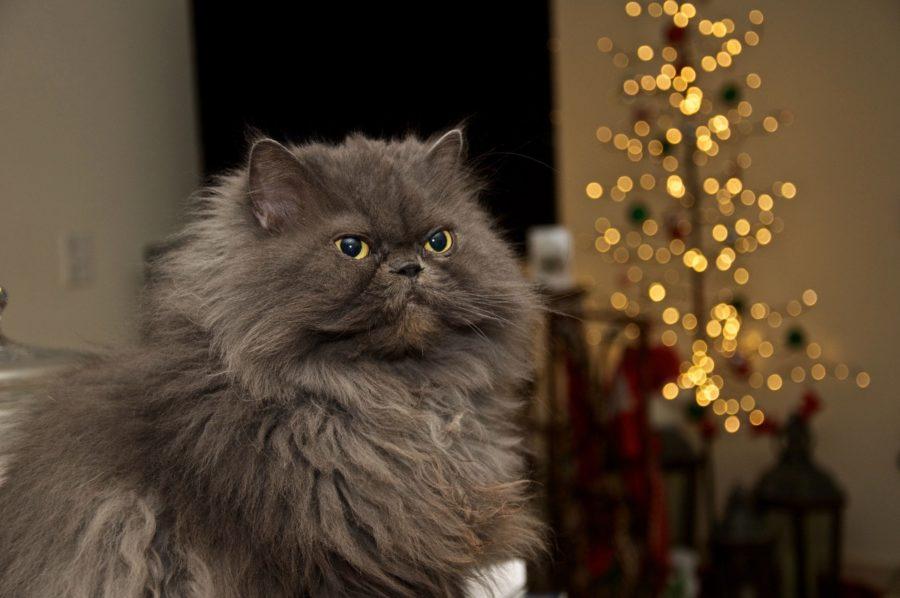 Gato persa cabecera